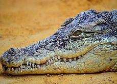 Comment un crocodile peut transformer un joueur