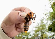 Un homme tente de voir les numéros gagnants de la loterie dans un nid d'abeilles géantes